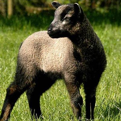 Snelston lamb